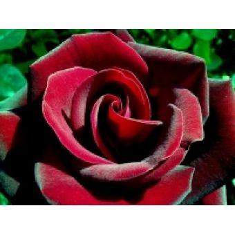 """Отдушка для мыла """"Бархатная роза"""", 10 мл"""