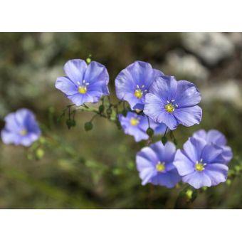 Голубой лен, отдушка, 10 мл, Англия