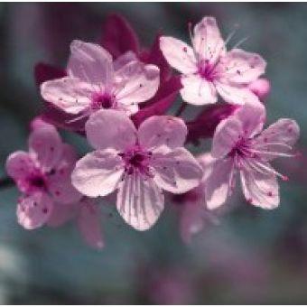 Гранат и вишневый цветок - Отдушка 10 мл