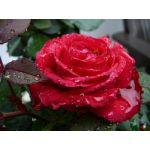 Роза, отдушка 10мл, Франция