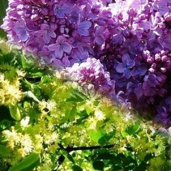 Сирень и липовый цвет, отдушка 10мл, Германия